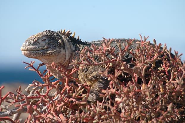 Iguana Galapogas